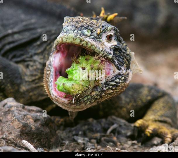 Terrestrisch (Land) Leguan Essen einen Kaktus, Santa Fe Insel, Galapagos-Inseln, Ecuador. Stockbild