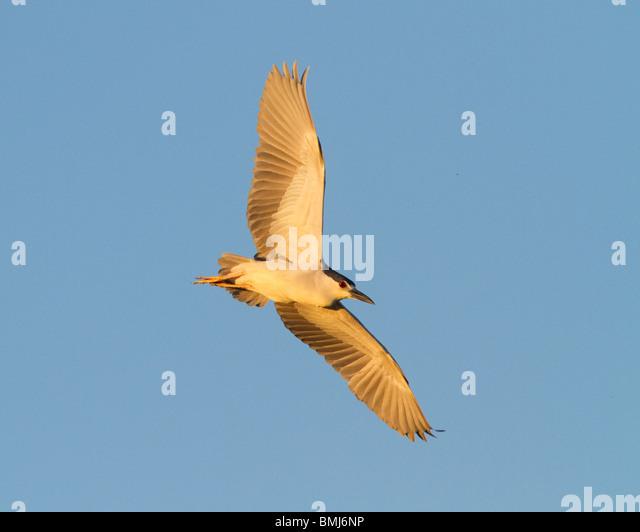 Schwarz-gekrönt-Nachtreiher im Flug bei Sonnenuntergang. 'Nycticorax Nycticorax' Chincoteague National - Stock-Bilder