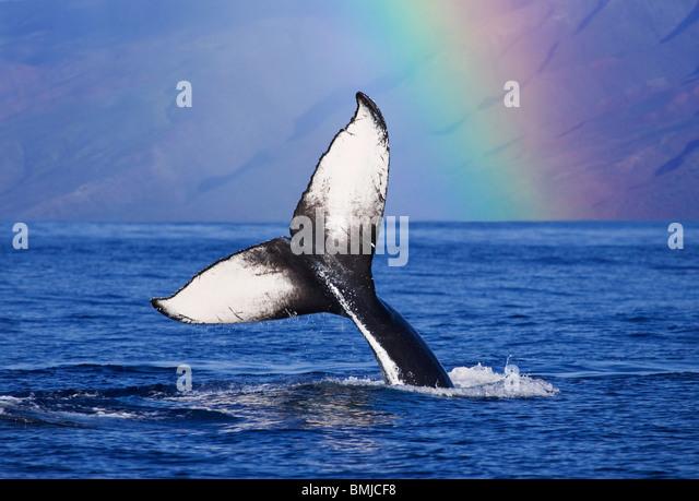 Humpback Whale Tail mit Regenbogen, Molokai, Hawaii. Stockbild