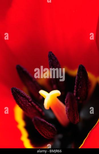Skandinavien, Schweden, Vastergotland, Molndal, Detail der Tulpe Blume (differenzielle Fokus) Stockbild