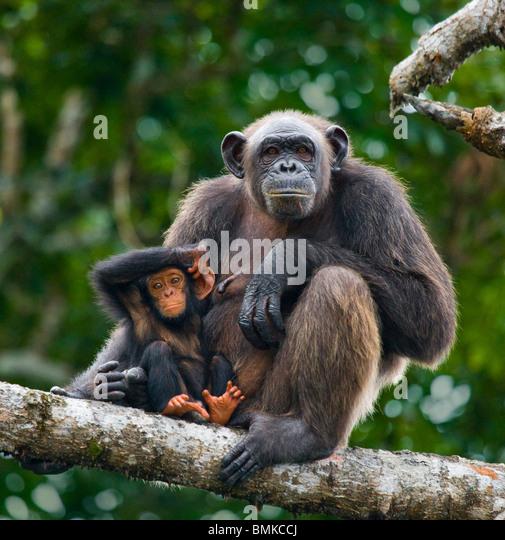 Schimpansen-Weibchen mit Baby, Conkouati-Douli Nationalpark, Republik Kongo. Stockbild