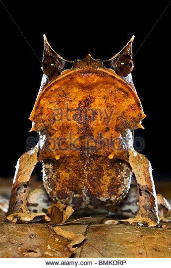 Porträt von Bornean gehörnten Frosch unter Laubstreu im Waldboden, in der Nacht genommen. Danum Valley, Stockbild