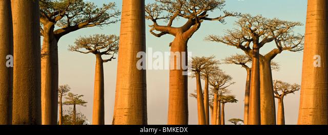 Grandidier des Baobabs in der Abenddämmerung. In der Nähe von Morondava, westlichen Madagaskar. Stockbild