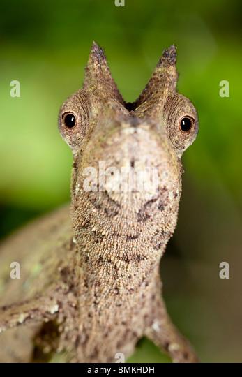Stumpf-tailed Blatt Chamäleon im Regenwald Blattsänfte. Masoala Nationalpark, Madagaskar. Stockbild