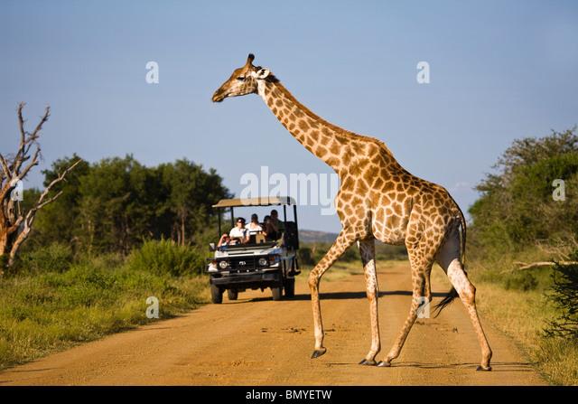 Giraffe (Giraffa Plancius) überqueren einer Straße vor einem Safari-Fahrzeug. Madikwe Wildreservat Stockbild