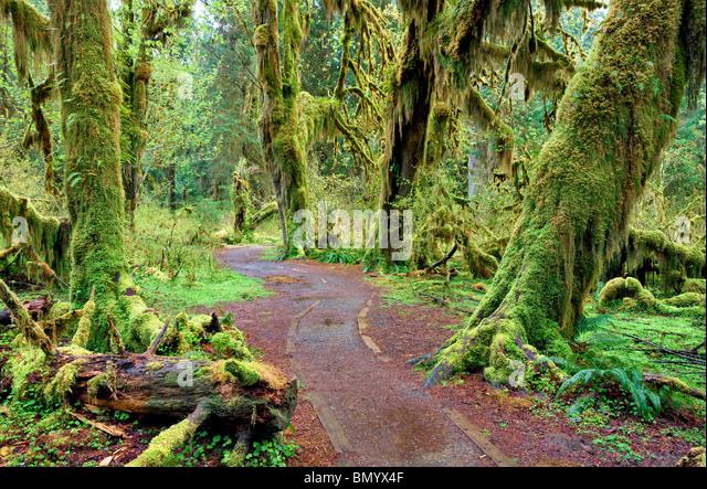 Pfad in Halle von Moosen. Hoh Regenwald. Olympic Nationalpark, Washington Stockbild