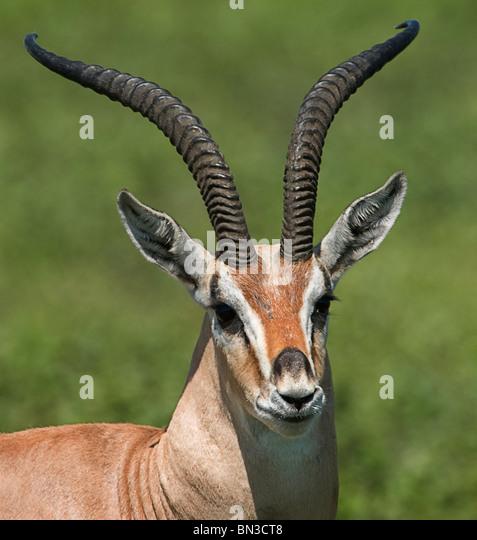 Grant es Gazelle, fotografiert in Serengeti Nationalpark, Tansania, Afrika Stockbild