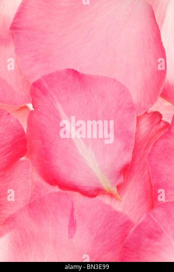 Rosa frische Rosenblätter in einem Hintergrundmuster angeordnet Stockbild