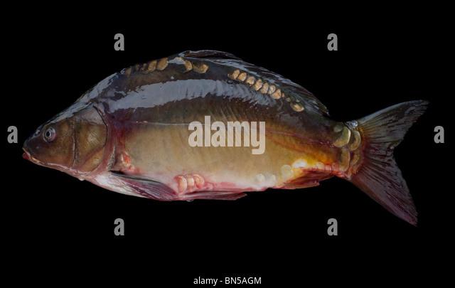 Karpfen (Cyprinus Carpio) eine weit verbreitete Süßwasserfische in Seen und Flüssen in Europa und Stockbild