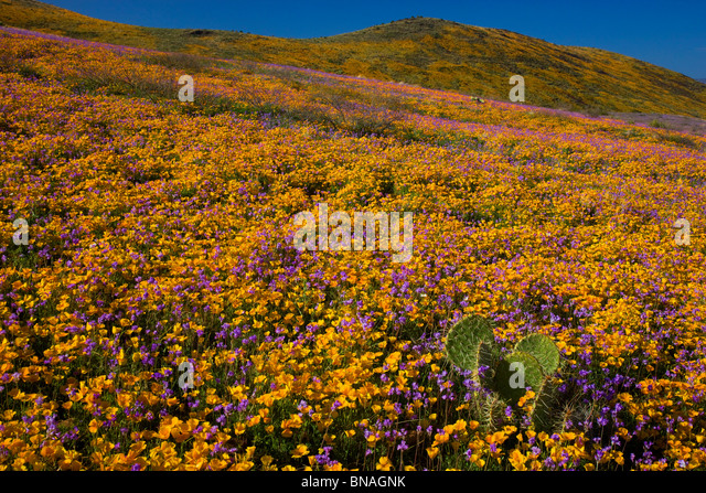 Wildblumen im Black Hills, Arizona. Stockbild