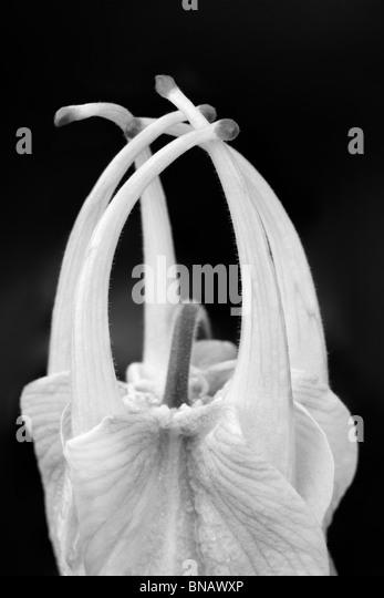 Nahaufnahme des sich entfaltenden Blüte der Musik Pure White Columbine. (Aquilegea Musik reinweiß) Stockbild