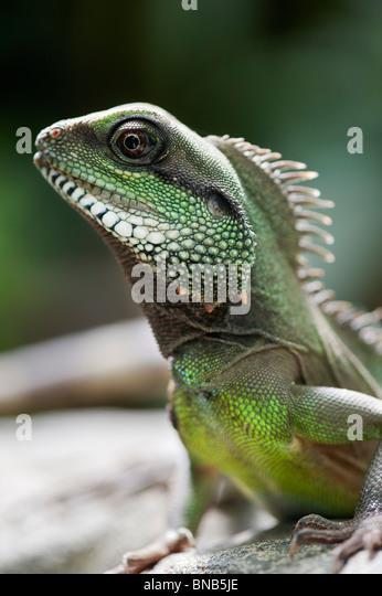 Physignathus cocincinus. captive Chinesisch Wasser Drache. grünes Wasser Drache. Stockbild
