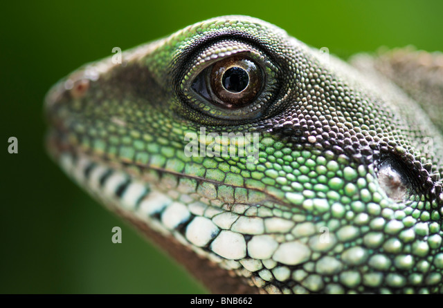 Chinesische Wasserdrache. Green Water Dragon. Stockbild