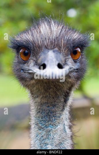 Emu (Dromaius Novaehollandiae) Blick in die Kamera, Australien Stockbild