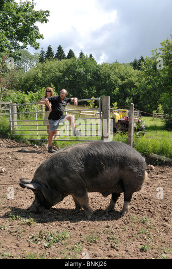 Berkshire-Eber in häuslicher Umgebung Fütterung mit seinem Besitzer Stockbild