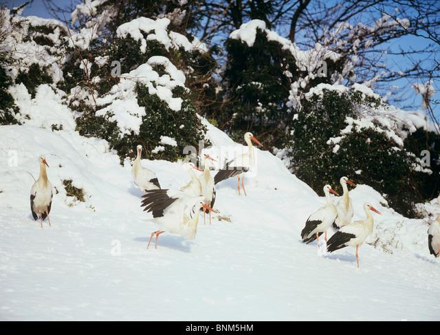 einige Weißstörche im Schnee / Ciconia Ciconia Stockbild