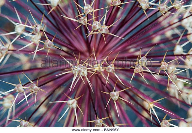 Allium Christophii Blüte Samen Hülsen abstrakt. Stern von Persien Samen Kopfzeichnung Stockbild