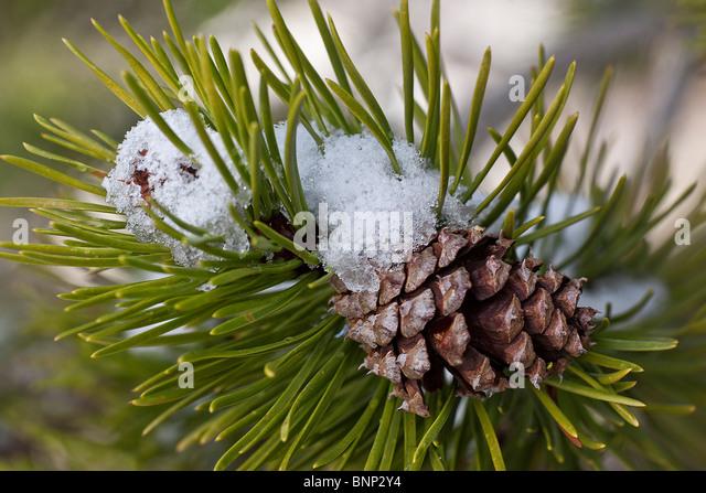 Eine junge Ponderosa Tannenzapfen, Hope Valley, Sierra Nevada, Kalifornien, USA. Stockbild