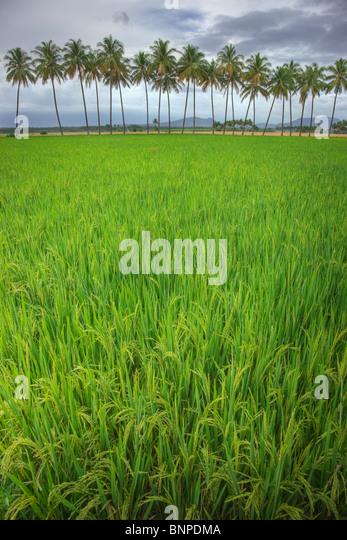 Reisfeld mit Kokosnüssen im Hintergrund. Einbisschen Tamil Nadu, Südindien Stockbild