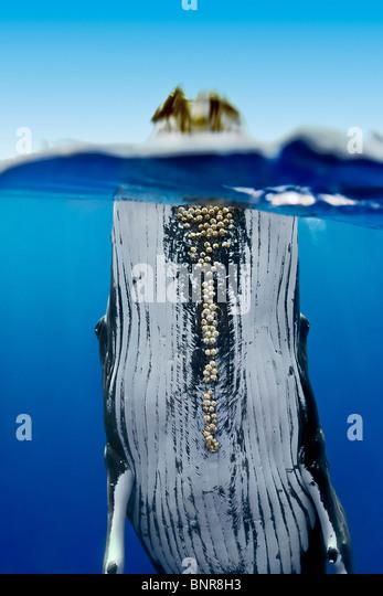 Buckelwal, Impressionen Novaeangliae.  Große Erwachsene weibliche zeigen gut entwickelte parasitäre Eichel Stockbild