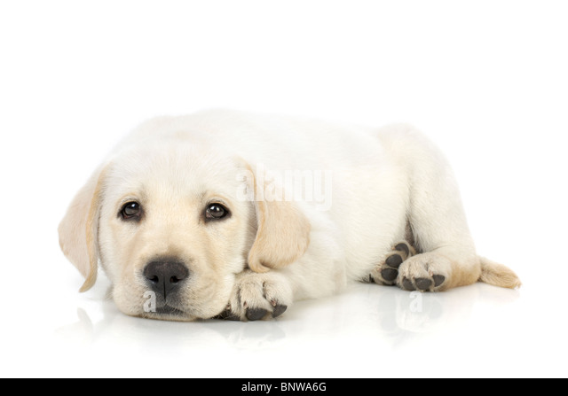 Adorable Labrador Retriever Welpe vor weißem Hintergrund Stockbild