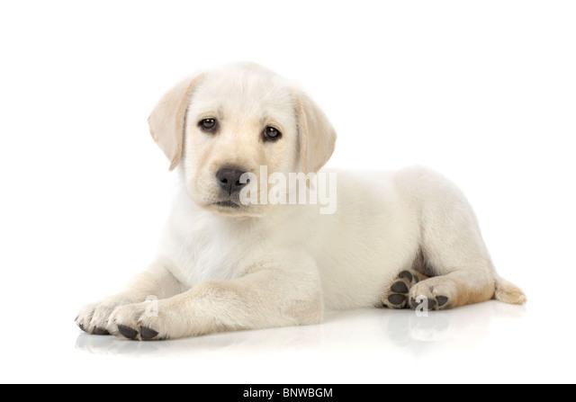 Adorable Labrador Retriever Welpen Stockbild