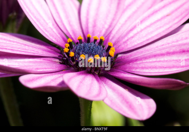 Marguerite closeup Stockbild