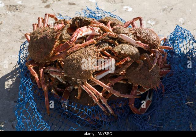 Stachelige Spider Krabben fangfrisch Stockbild