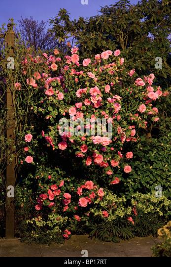 England; Eine Kamelie Bush in der Nacht mit einer Fülle von rosa Blüten Stockbild
