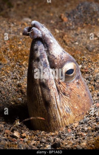 Schwarz-finned Schlangenaal, Ophichthus Melanochir, Lembeh Strait, Sulawesi, Indonesien - Stock-Bilder
