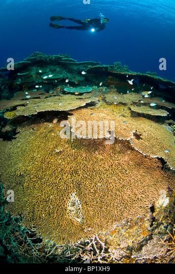 Taucher deutschen Korallenriff, Banda Inseln, Molukken, Indonesien   Taucher über Korallenriff, Banda-Inseln, Stockbild