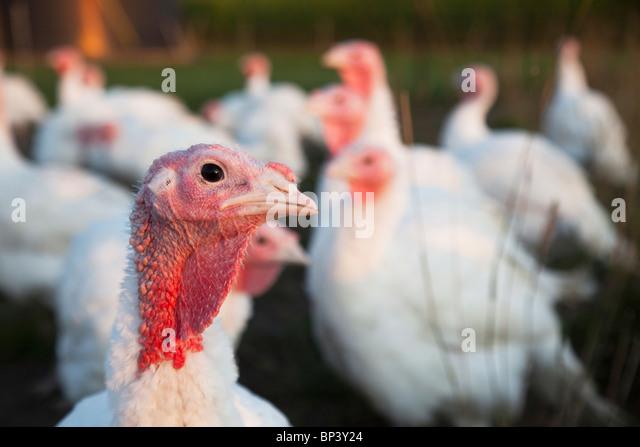 Porträt einer Türkei auf einem Bauernhof Stockbild