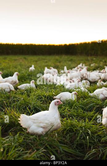 Freilandhaltung Huhn sitzt auf einem Bauernhof Stockbild