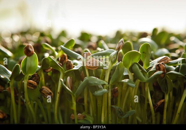 Bio Sonnenblumen Sprossen wachsen in Schalen im Sonnenlicht Stockbild