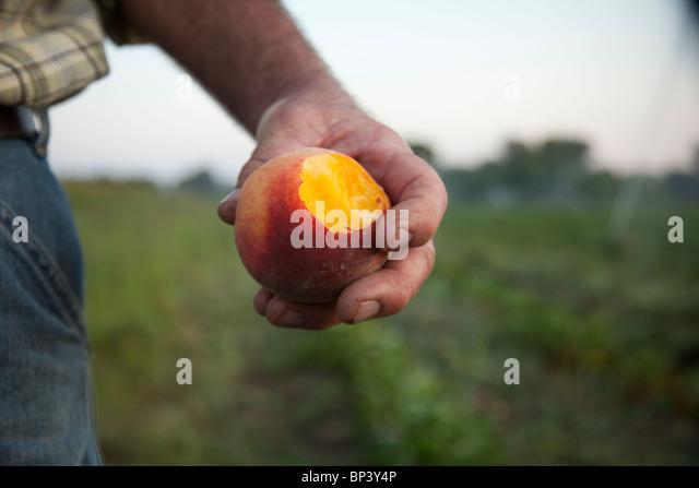Bio-Pfirsiche in einer farm Stockbild