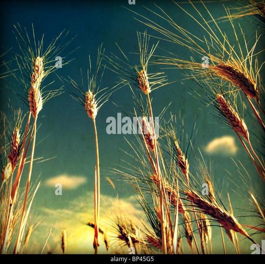 Grunge Weizen Feld Hintergrund mit schmutzigen alten Textur Stockbild