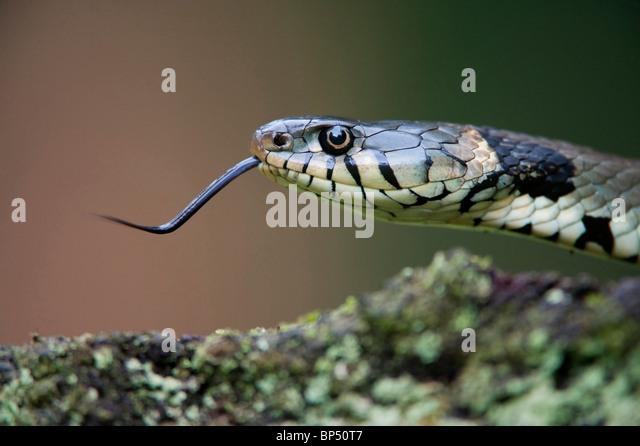 Ringelnatter (Natrix Natrix). Nahaufnahme der Erwachsenen zeigt Zunge, Niederlande. Stockbild