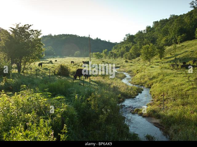 Kühe essen Rasen in einer sonnigen Weide mit einem Strom Stockbild