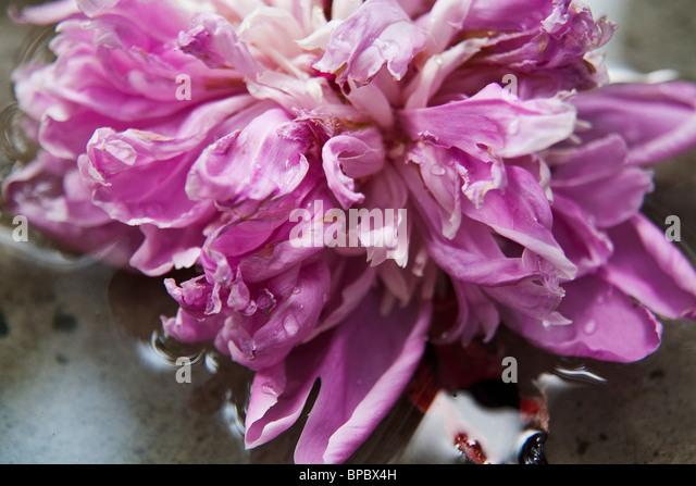 Nahaufnahme der rosa Pfingstrose im Wasser. Stockbild