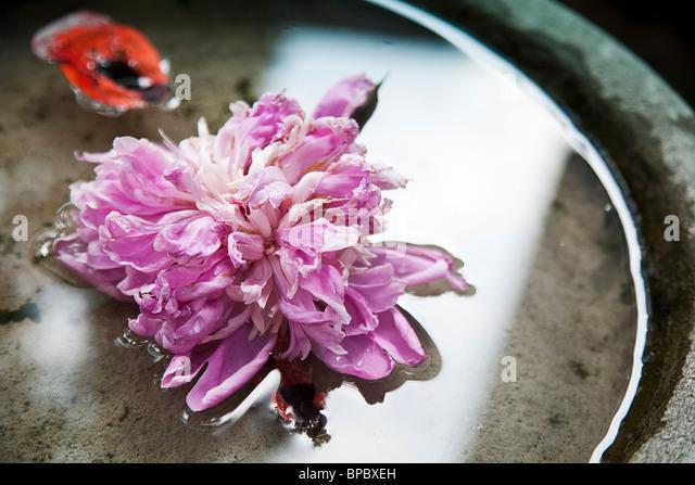 Nahaufnahme der Blütenblätter eine rosa Pfingstrose im Wasser Stockbild