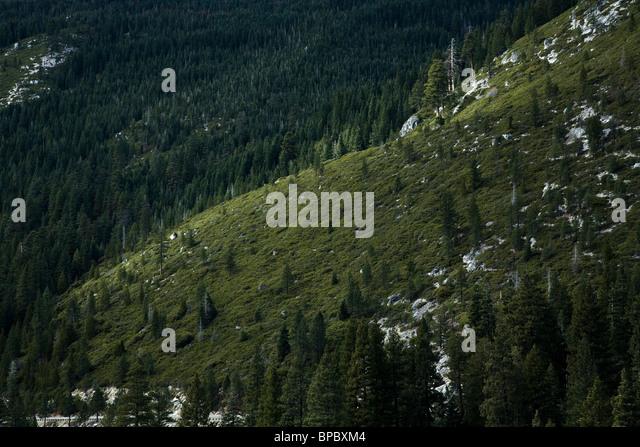 Pinienwald in der Sierra Nevada Stockbild