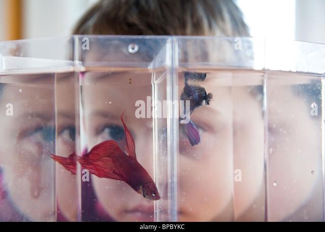 Junge seine Haustier Betta Fische in einem Aquarium beobachten / Goldfischglas Stockbild