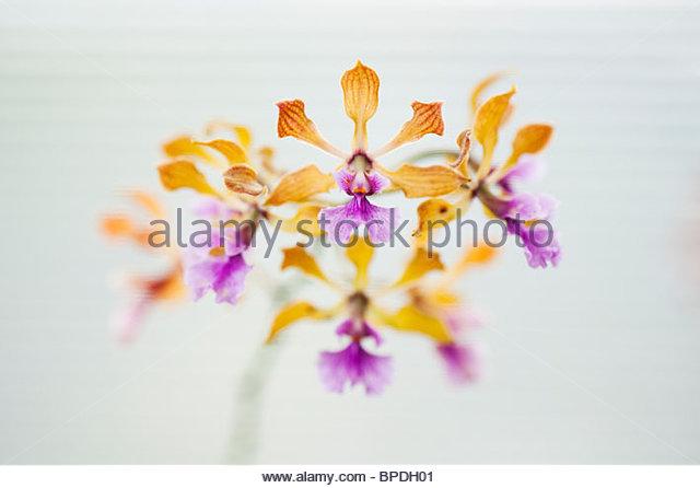 Encyclia Orchidee Blumen vor dem weißen Hintergrund eine Fensterjalousie Stockbild