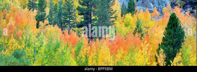 Mischwald der Espen im Herbst Farben und Tannen. Inyo National Forest. California Stockbild