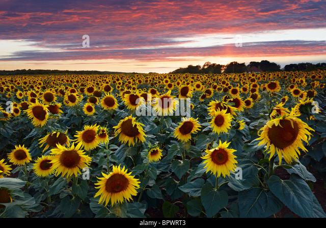 Sonnenblumenfeld West Sussex. Gewachsen, reinem Sonnenblumenöl zu produzieren Stockbild