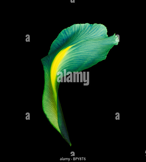 ein Iris-Blütenblatt dramatisch beleuchtet und schoss auf schwarzem Hintergrund Stockbild