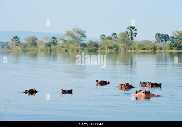 Flusspferd (Hippopotamus Amphibius) in der Shire-Fluss, Liwonde Nationalpark, Malawi Stockbild