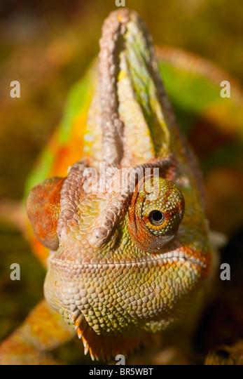 Jemenchamäleon (Chamaeleo Calyptratus) Stockbild