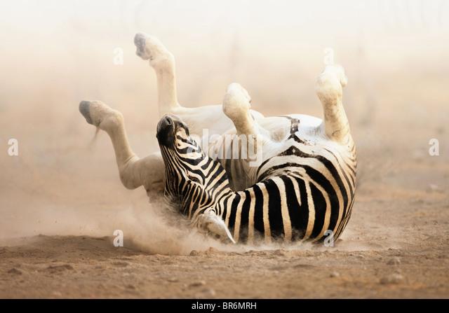 Zebra Rollen auf staubigen Sand in den frühen Morgenstunden; Etosha Stockbild