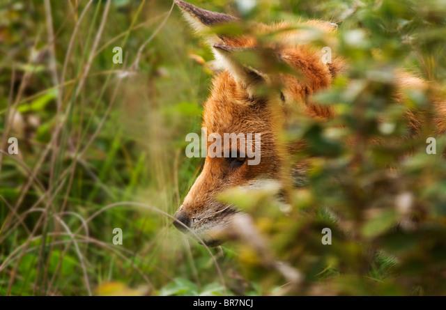 Gut gewachsene Red Fox Cub in Tiefe Abdeckung in Warwickshire Landschaft Stockbild
